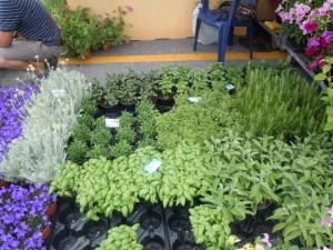 Le erbe aromatiche sono un vanto del Promontorio di Portofino, cerniera tra Golfo Paradiso e Tigullio