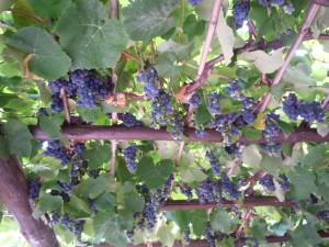 Vite vinifera, origine e storia