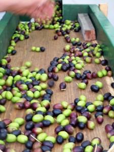 cultivar taggiasca
