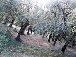 un oliveto a lavagna